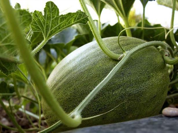 melones-2